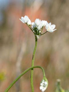 plantes sauvages comestibles, Fleur d'ail des ours Edible Plants, Permaculture, Flowers, Nature, Planters, Garden, Plants, Herbs