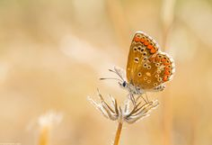 The Southern Brown Argus by David Martín López on 500px