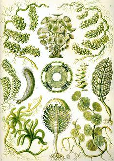 Green algae from Ernst Haeckel's Kunstformen der Natur, 1904.