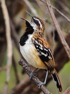 Foto piu-piu (Myrmorchilus strigilatus) por Jullio Ferreira   Wiki Aves - A Enciclopédia das Aves do Brasil