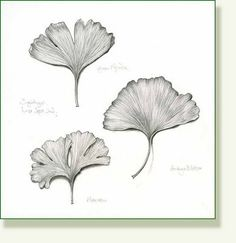 pencil and leaf: Leaf of the Day: Ginkgo Biloba Leaves