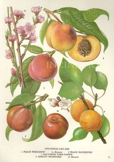 Vintage Botanical Print Antique PEACHES by VintageInclination