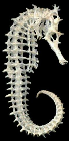 Seahorse, Hippocampus, with babies - it is actually the male seahorse that gives birth to the babies, the female deposits her eggs into the males pouch where he carries them and delivers them.