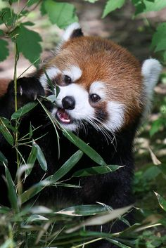Red Panda Noms by Mark Dumont Happy Animals, Cute Funny Animals, Cute Baby Animals, Animals And Pets, Cute Cats, Red Panda Cute, Panda Puppy, Otters Cute, Amor Animal