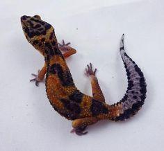 Blood Tangerine – LM Leopard Geckos