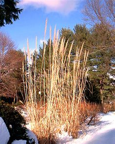 Ornamental grasses help you keep your yard looking interesting all winter. For more winter landscapes, see my pictures at http://landscaping.about.com/od/winterlandscaping/ig/Winter-Landscapes/