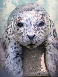 A baby Pacific Harbor Seal patient at the Marine Mammal Center, in Sausalito, CA.... hanging around in his pool.