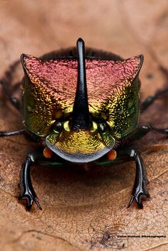 gorgeous horned beetle by Colin Hutton