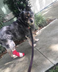 Sasha Girl broke her toe and still enjoys her dog walk out side.lol