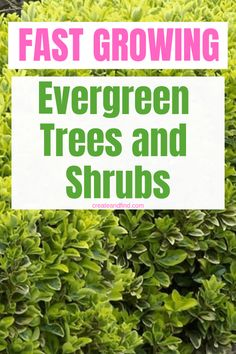 7 fast growing evergreen trees and shrubs - add these to your landscaping for quickly growing gorgeous color and privacy year round. Shade Evergreen Shrubs, Evergreen Trees Landscaping, Evergreen Trees For Privacy, Evergreens For Shade, Evergreen Bush, Shade Shrubs, Trees And Shrubs, Trees To Plant, Shade Plants
