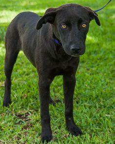 07/18/14~~Lilo Labrador Retriever Mix • Young • Female • Large SPCA of Brazoria County Lake Jackson, TX