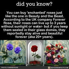 You can buy 'enchanted' roses just like the one in Beauty and the Beast. According to the UK company Forever Rose, their roses can live up to 3 years without sunlight or water- but if you keep them sealed in their glass domes, they reportedly stay. The More You Know, Good To Know, Forever Rose, Forever Flowers, Tyler Durden, Disney Facts, Disney Quotes, Funny Disney, Disney Movies