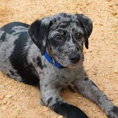 Catahoula Leopard Puppy.