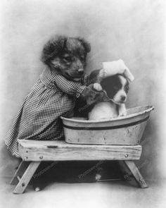 Dog Washing Another Dog Vintage 8x10 Reprint Of Old Photo
