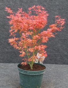 Wilson's Pink Dwarf, 2016, acer1987, V-shaped, in round muted green pot with attached saucer.