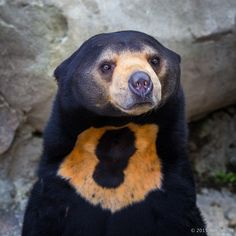 The Sun Bear lives in the tropical rainforests of Southeast Asia and is the smallest of all living bear species (about half the size of your good ol' American black bear). They're also a total delight. Bear Species, Animal Species, Malayan Sun Bear, American Black Bear, Like A Lion, Honey Bear, Woodland Creatures, Spirit Animal, Beautiful Creatures