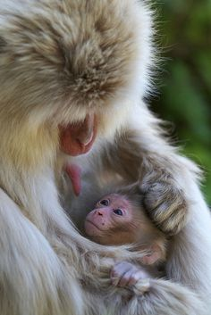 Mother and Baby - Snow Monkeys. Such tenderness.