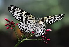 ~~From The Butterfly Jungle by Bill Gracey~~