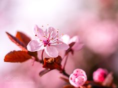 Cherry Blossom - Spring is here! by palbiswas http://ift.tt/1TRLNCd