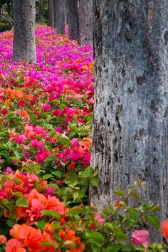 Bougainvillea Forest, Maui, Hawaii: God's entire color palette is found in the flowers of Maui