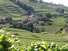 Vineyards in Lutry, Switzerland.  Go to www.YourTravelVideos.com or just click on photo for home videos and much more on sites like this.