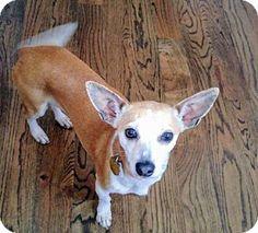 Vancouver, BC - Chihuahua/Shiba Inu Mix. Meet Mardi, a dog for adoption. http://www.adoptapet.com/pet/18482263-vancouver-british-columbia-chihuahua-mix