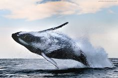 Breaching humpback whale, Wild Coast, South Africa  by Alexander Safonov.