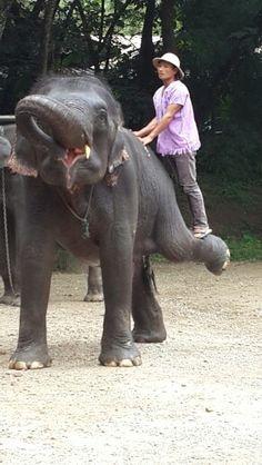 Chiang Mai Elephant, Elephant Camp, Elephants, Animals, Animales, Animaux, Animal, Animais, Elephant