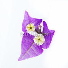 #bouganville #flower #white #background stock photo @fotolia
