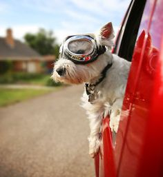 When traveling with animals in the car, every pet parent knows just how quickly a dog can become a dangerous distraction. For both your dog's safety and your own, it's vital to take steps to prevent accidents...