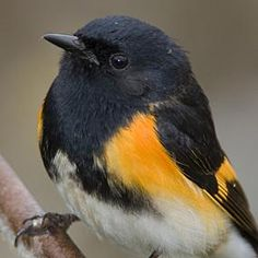 Today's bird breed of the day ( the 12th) is the American Redstart. Theses birds live about North America and are migratory, wintering in central America and and the West Indies. Their call is a soft chip noise. They feed almost exclusively on insects but eat a few seeds and berries. Their average clutch size is 2-5 eggs.