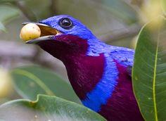 Foto crejoá (Cotinga maculata) por Ciro Albano   Wiki Aves - A Enciclopédia das Aves do Brasil