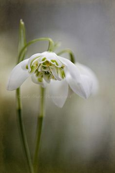 Simply Snowdrops by Jacky Parker Floral Art, via Flickr