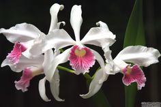 Fotos de OrquídeasAtrás da Moita