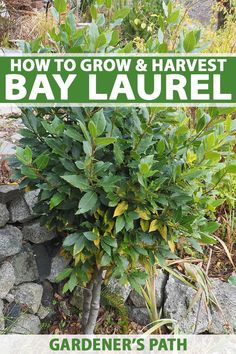 How would you like a nice woody shrub that can also serve as an essential kitchen spice? Grow your own bay leaves right at home. Lean how plant, care for, and harvest the leaves of the bay laurel with our complete growing guide on Gardener's Path. Bay Leaf Plant, Bay Leaf Tree, Bay Leaves, Gardening For Beginners, Gardening Tips, Container Gardening, Kitchen Gardening, Magic Garden, Garden Paths