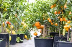 No Garden? Here Are 66 Things You Can Grow At Home In Containers growing-fruit-trees-within-containers