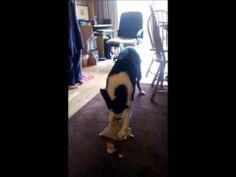 ▶ Clever collie dog unwraps his Birthday present - YouTube
