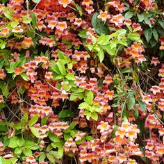 """Cross vine Vigorous climbers, dress up entry arbor or pergola. Hummingbirds can't resist this vine. Attaches itself to most surfaces by tendrils and grows in many types of soil, from fast-draining sandy loam to clay. Prune in winter to control  spread. Part Sun, Sun Vine <6"""" to 20' tall To 10' wide Flower Color: Orange, Red Foliage Color: Chartreuse/Gold Spring Bloom, Summer Bloom Drought Tolerant, Good For Privacy Attracts Birds, Fragrant, Good for Containers, Low Maintenance Zones 6-9"""