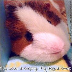 Guinea Pigs' Cavy Club Tips & Pics: Guinea Pig Funnies Just for Fun