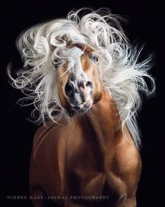 7 years ago I took these photos of Haflinger stallion Mozart. Today I finished this unpublished photo of his marvelous head of hair for a… Art Photography Portrait, Animal Photography, Fjord Horse, Most Beautiful Horses, Akhal Teke, Pet Day, Love Your Pet, Horse Breeds, Beautiful Creatures