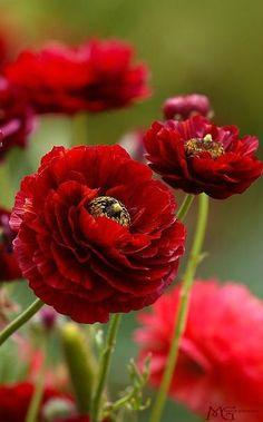 ~~Red Ranunculus by Marcie Gonzalez~~ by esmeralda