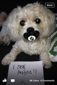 Cutest little dog stealing babies dummies/pacifiers lol