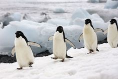 © Brandpictures.com.  Adopt a penguin! Adélie penguins depend on sea ice for their main food source - krill. But parts of the Antarctic and Southern Ocean are warming rapidly, which is affecting the penguins feeding grounds. Help us protect the penguins and their habitat.