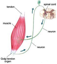 golgi tendon