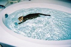 My f1 bengal milo used to get in the tub on his own swim laps at about 3-4 months old. - http://cutecatshq.com/cats/my-f1-bengal-milo-used-to-get-in-the-tub-on-his-own-swim-laps-at-about-3-4-months-old/