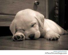 Sleeping Labrador Retriever cutie
