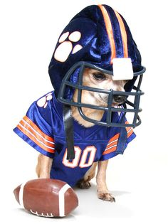 stock photo   a tiny chihuahua in a football uniform 19d3544bc