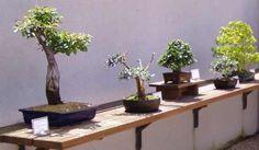 Para iniciarnos con buenas posibilidades de éxito en el cultivo de bonsai, podemos elegir comenzar con variedades que presenten un fácil desarrollo, buenas posibilidades de darles formas diversas y...