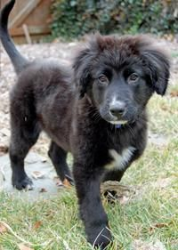 Elway the Border Collie Lab Mix.
