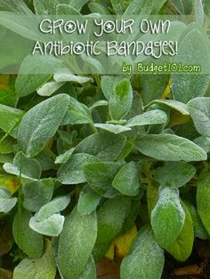 Grown your own Antibacterial Bandages! Lambs Ear!!! I never knew this :)